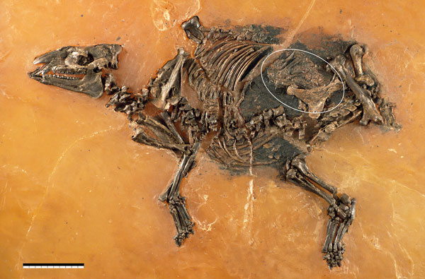 Eurohippus messelensis fossil and fetus